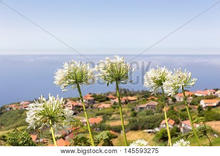 Group of white agapanthus near village at coast