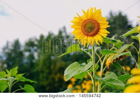 The beautiful sunflower. Tuscany sunflowers. Beautiful landscape with sunflower field over cloudy blue sky and bright sun lights. Sunflowers blooming in field. Sunflower natural . Sunflower blooming.