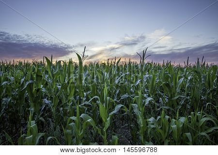Crop of organic corn against a sunset sky. Symbolising health and vitality.