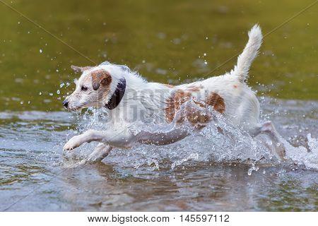 Dog Runs In A River