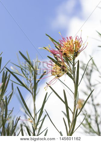 Spring background Australian grevillea spider flower blooming against blue sky background