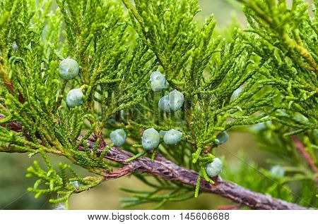 Closeup view of Western Juniper - in latin Juniperus occidentalis. Western juniper branches - soft focus processing. Natural view of Western juniper