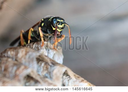 Paper Wasp sitting on nest. Polistes dominula