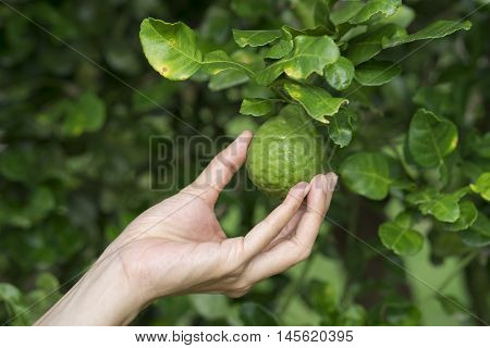close up woman hand holding bergamot on tree