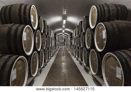 Rows of large oak barrels in a dark cellar. Plant for the production of wine.