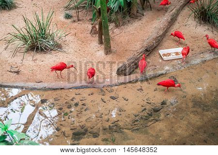 Scarlet Ibis (eudocimus Ruber) At The Bird Park