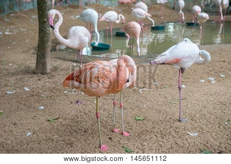Group Of Pink Flamingos Eating In Lake