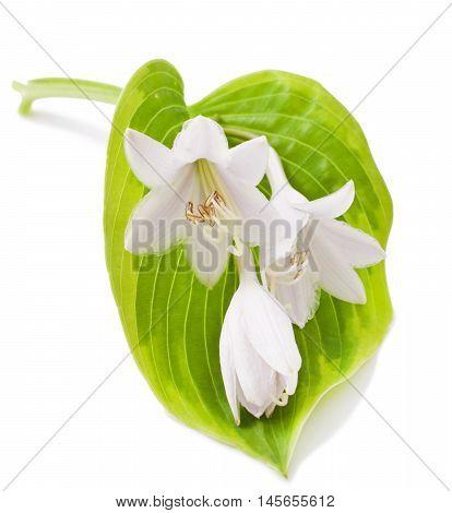 White Hosta flower isolated  on white background.