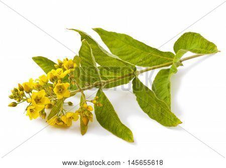 Yellow flower isolated on white background. (Lysimachia)