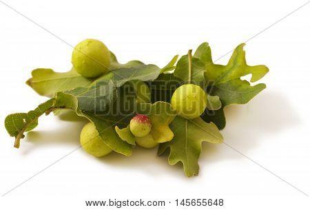 Green oak leaf, Oak apples on white. Parasite on plant.