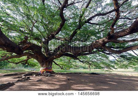 Giant Mimosa Rain Tree (travelling Place) In Kanchanaburi Province, Thailand