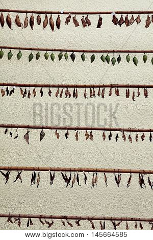 Rows of different colored butterfly cocoons, natural background