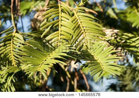 Leaves of Japanese plum-yew, Cephalotaxus harringtonii, a coniferous bush in the plum yew familiy
