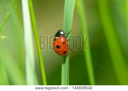 Ladybug crawling on a green blade of grass up
