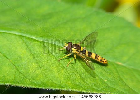 A macro shot of a Hoverfly sits on a green leaf