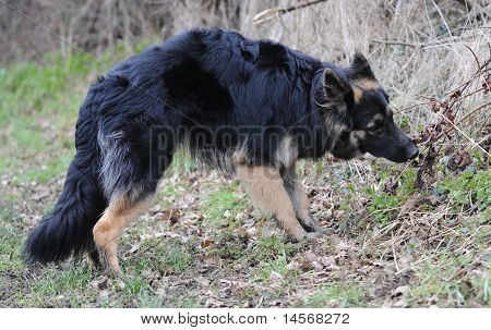 Black and tan German Shepherd in field