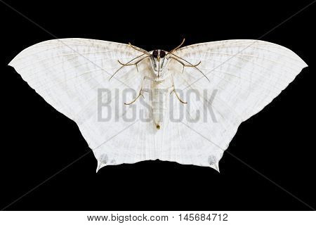 white moth isolated on black background with clipping path