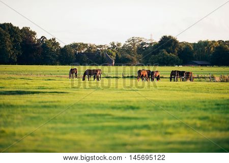 Group Of Horses Grazing On Farmland. Geesteren. Achterhoek. Gelderland. The Netherlands.