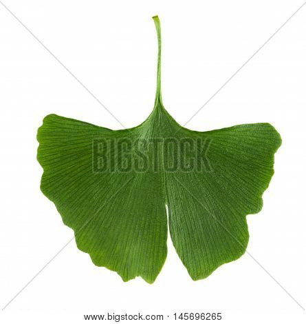 Ginkgo biloba leaf isolated on white background. Leaf from Ginkgophyta, also called maidenhair tree, used in medicine. Macro photo close up from above.