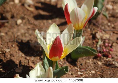 The 2 Tulip