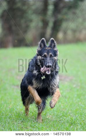 German Shepherd dog gsd in field