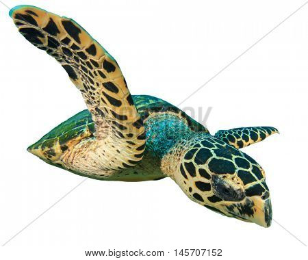 Sea Turtle cutout. Hawksbill Turtle isolated. Turtle on white background.