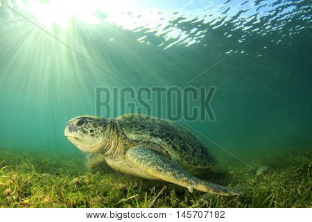 Green Turtle. Sea Turtle. Chelonia mydas.