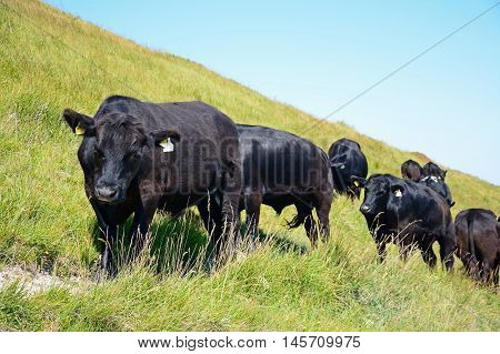 LULWORTH COVE, UNITED KINGDOM - JULY 19, 2016 - Cows standing on the hillside above Lulworth Cove Dorset England UK Western Europe, July 19, 2016.