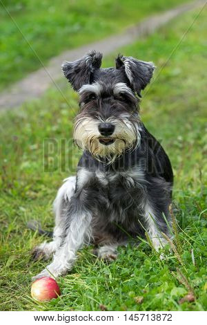 Miniature schnauzer sits on the grass outdoor