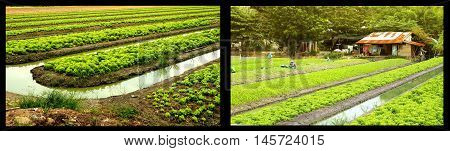 Agricultural fertilizers organic vegetable garden or planting lettuce with a ditches around and font of her hut.