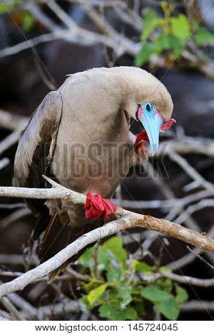 Red-footed Booby (sula Sula) Grooming