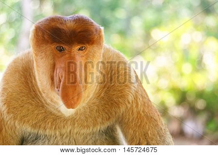 Close-up portrait of a proboscis monkey look direct to camera at mangrove forest in Sandakan Sabah Malaysia.