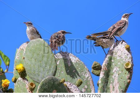 Galapagos Mockingbirds Sitting On A Cactus, Genovesa Island, Galapagos National Park, Ecuador