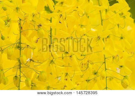 Golden Shower or Cassia Fistula,national tree of Thailand