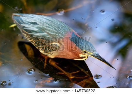 Green Heron Standing In Water