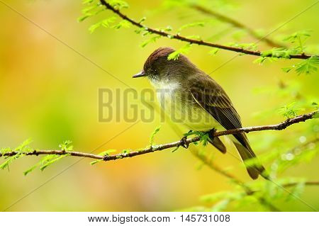 Eastern Phoebe Sitting On A Tree Branch