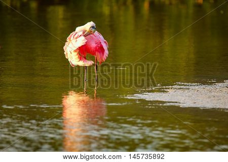 Roseate spoonbill (Platalea ajaja) preening, reflected in water