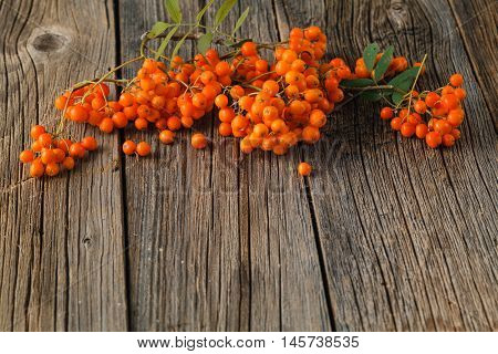 Ash-berry On A Wooden Background. Autumn Berry. Bunch Of Rowan