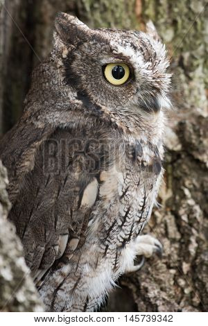 A side view of a southern screech owl perched in a tree and staring to the right