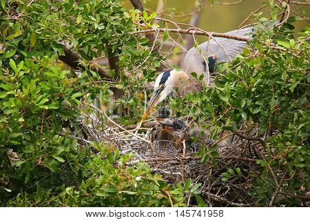 Great Blue Heron With Chicks In The Nest. It Is The Largest North American Heron.