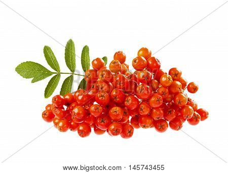 Rowanberry or ashberry isolated on white background.