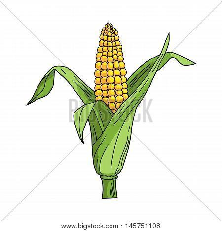 Corncob with leaf on white background.Vector illustration