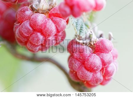 Closeup of a branch of red raspberry