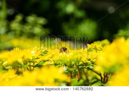 It is native to Europe but also naturalised in North America Japan and New Zealand. A wasp is any insect of the order Hymenoptera