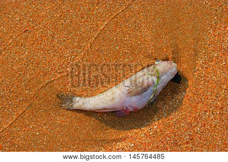 Dead fish on the beach from above view a lot of space for text. Environmental problem concept.