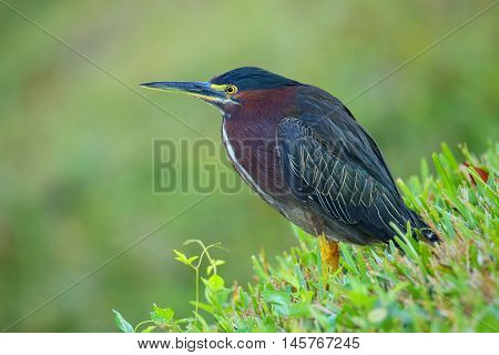 Green Heron In A Grass