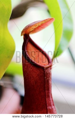 Macro insectivorous plants Nepenthes Ampullaria close up