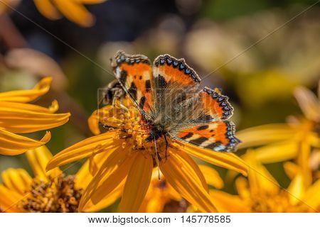 the small tortoiseshell on orange leopardplant flower