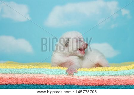 Newborn white kitten eyes closed mouth open facing to viewers right laying on yellow aqua peach orange and green towels with blue sky cloud background.