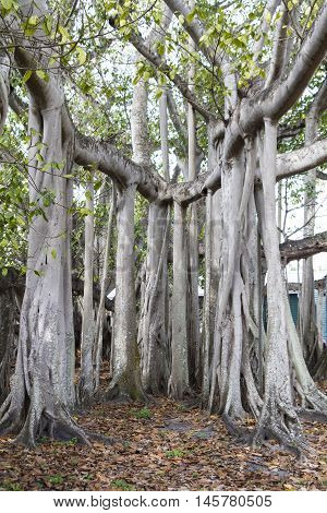 Complicated Banyan tree in Fort Meyers Florida